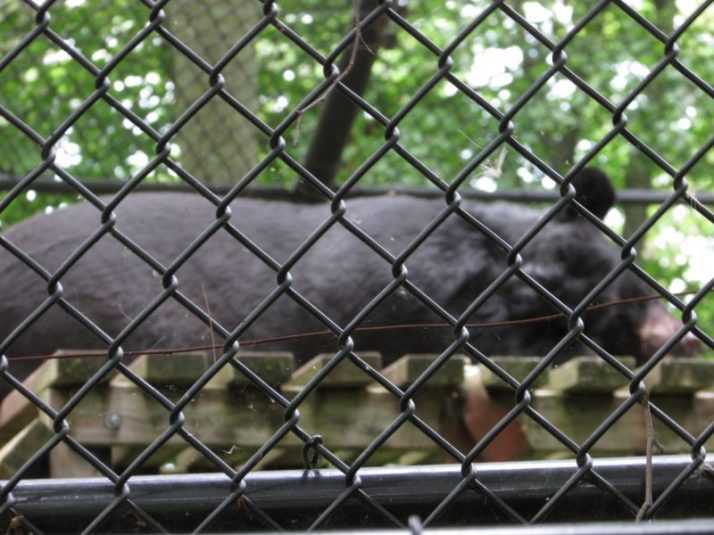 Asiatic Bear at Lincoln Park Zoo