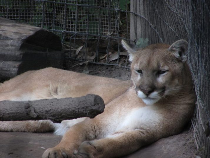 Cougar at Lincoln Park Zoo