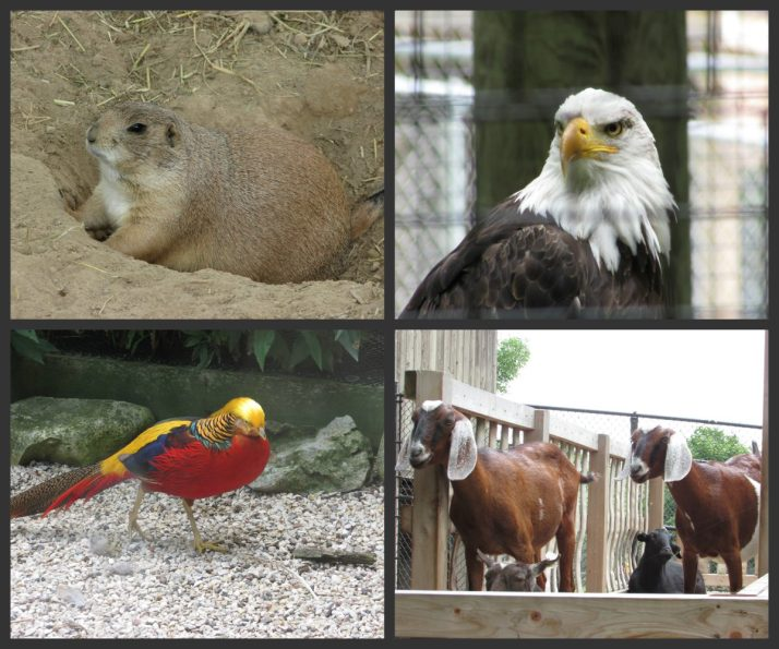 prairie-dog-eagle-pheasant-goats-at-lincoln-park-zoo