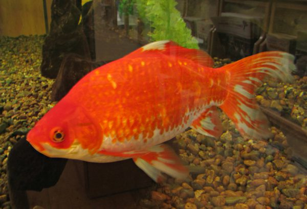 goldfish-at-shawano-chamber-of-commerce